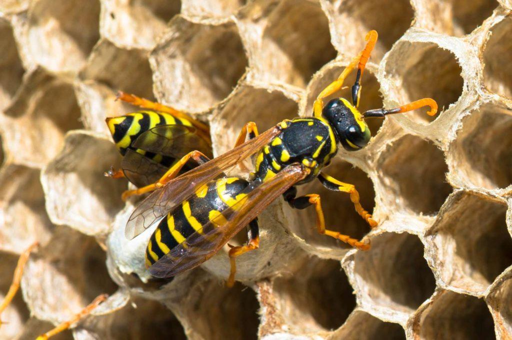 Wespennest mit Wespen