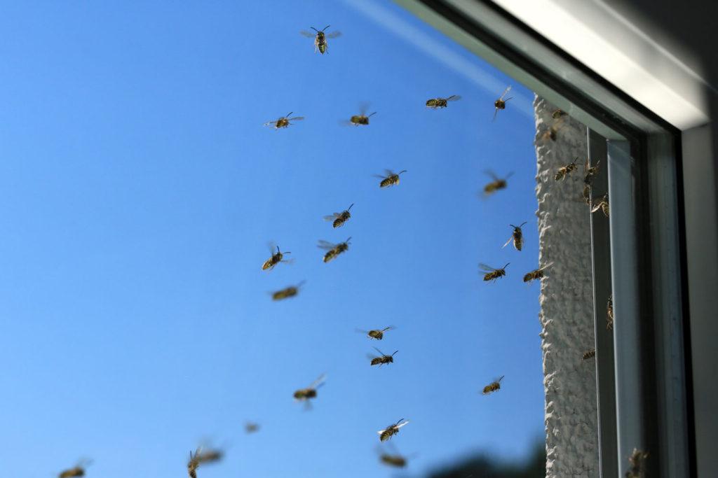 Wespen an Rolladenkasten im Fenster einer Mietwohnung